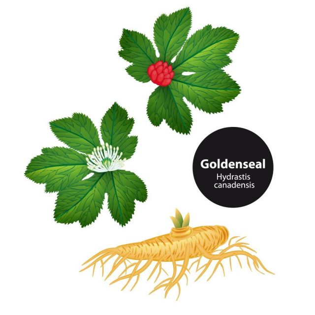 Goldenseal (Hydrastis canadensis) with leaf and flower