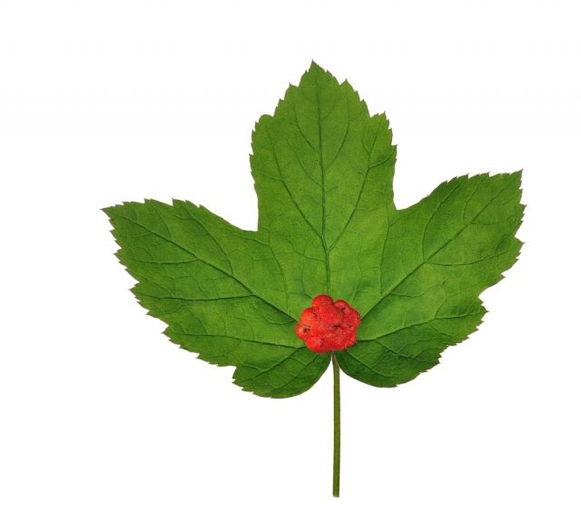 Goldenseal leaves (Hydrastis Canadensis)