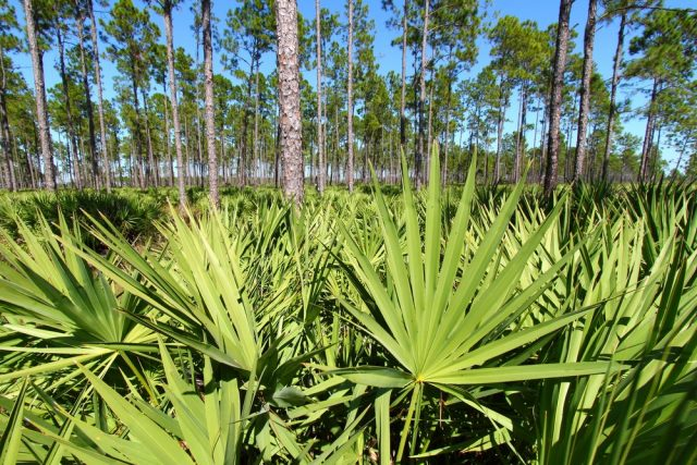Saw Palmetto grows thick in the pine flatwoods of central Florida on a sunny day