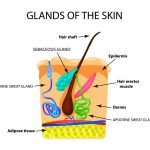Sebaceous Glands: Facts You Should Know