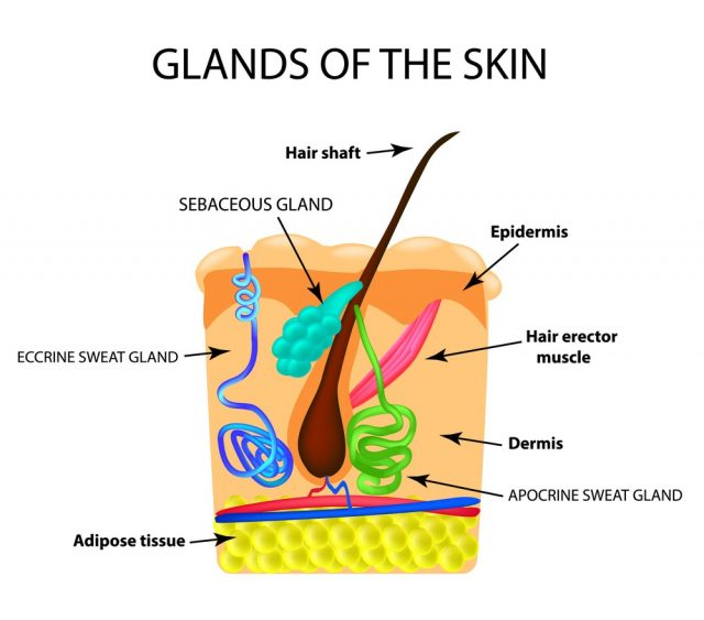 The structure of the hair. Sebaceous gland. Sweat gland. Infographics