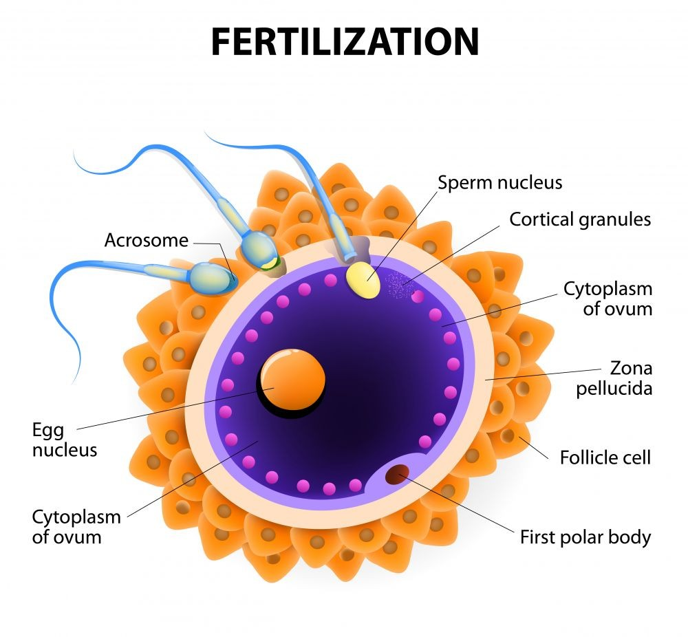 Simple Fertilization Diagram