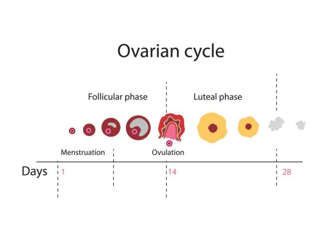 Ovulation chart showing Ovarian cycle