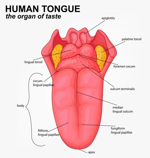 Human tongue structure cartoon