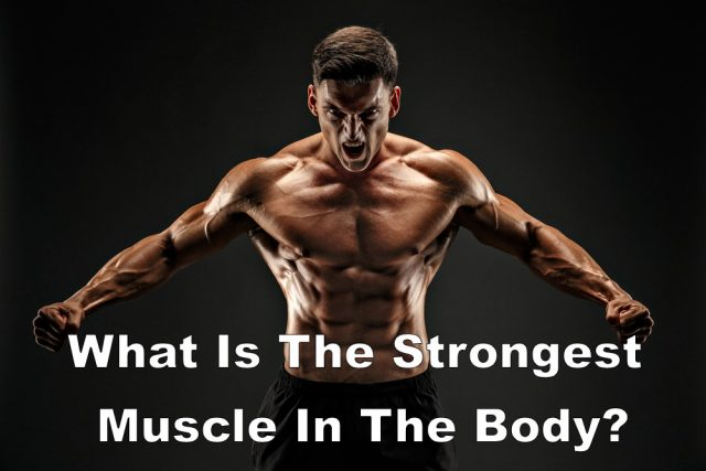 What Is The Strongest Muscle In The Body?