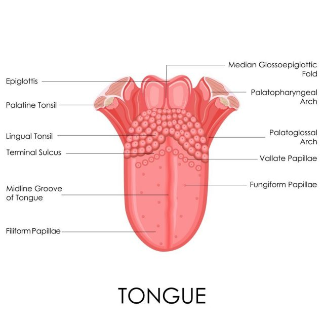illustration of human tongue anatomy