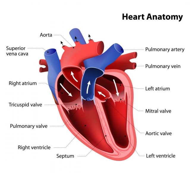 Part of the human heart. Anatomy