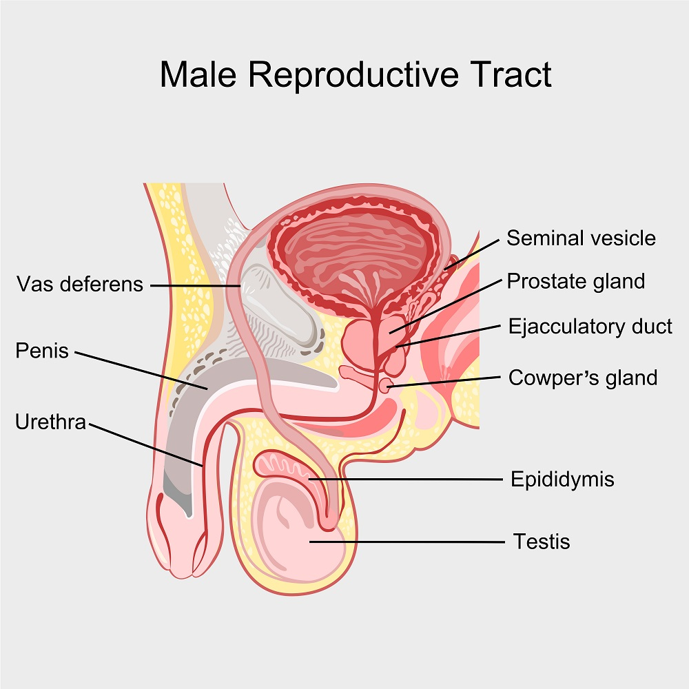 Disorders Of The Male Reproductive System Std Blog
