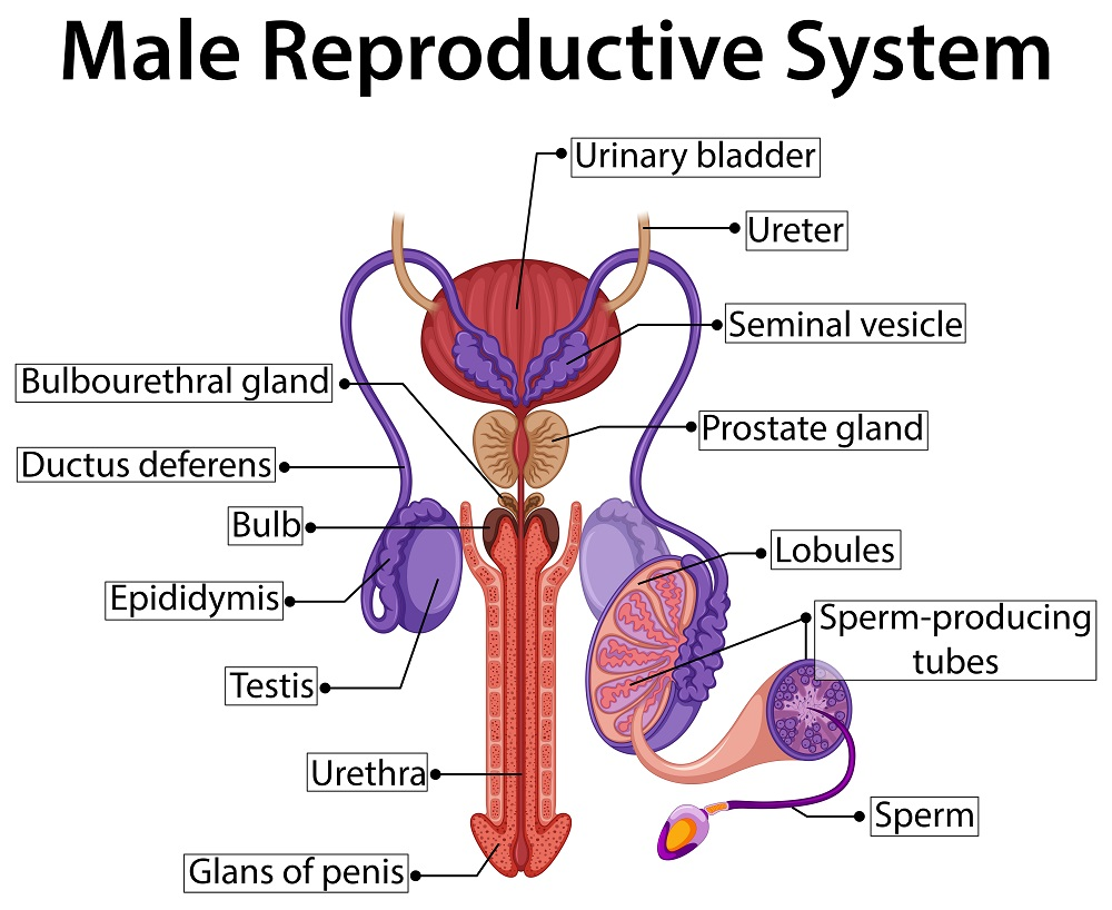 Hormones In Male Reproductive System Std Blog
