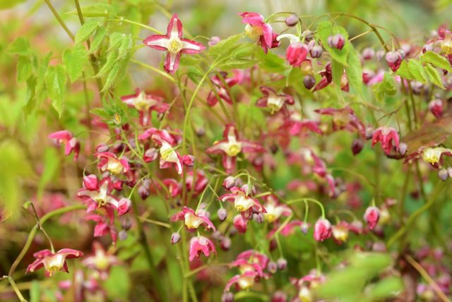 Epimedium flourishing in the garden