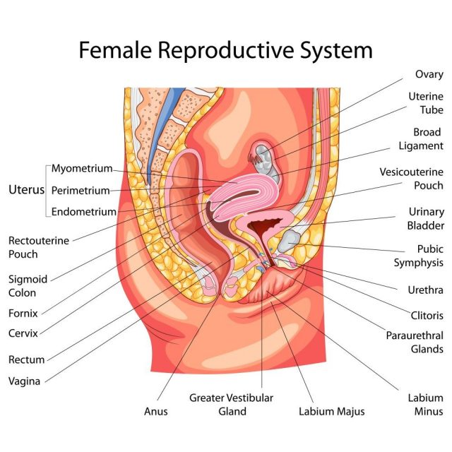 Premenopause: Female Reproductive System Diagram