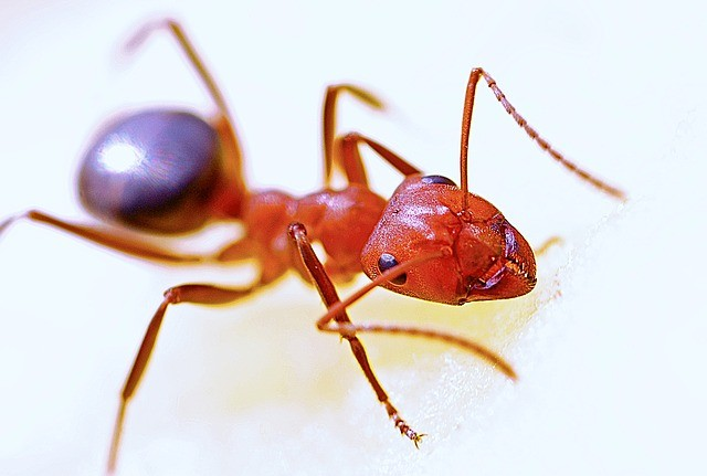 Overview of fire ants