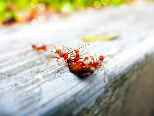 Symptoms associated with fire ant bites