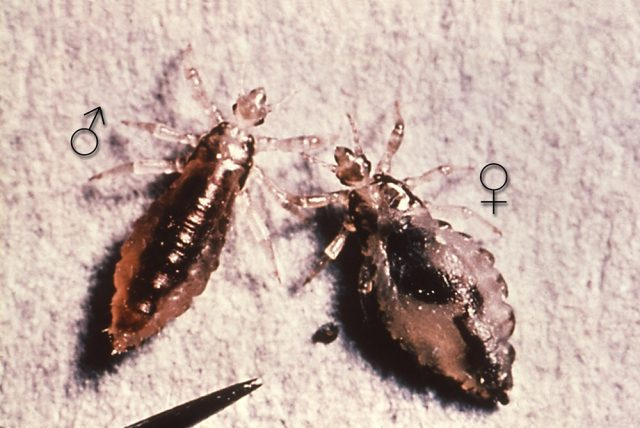 male and a female body louse