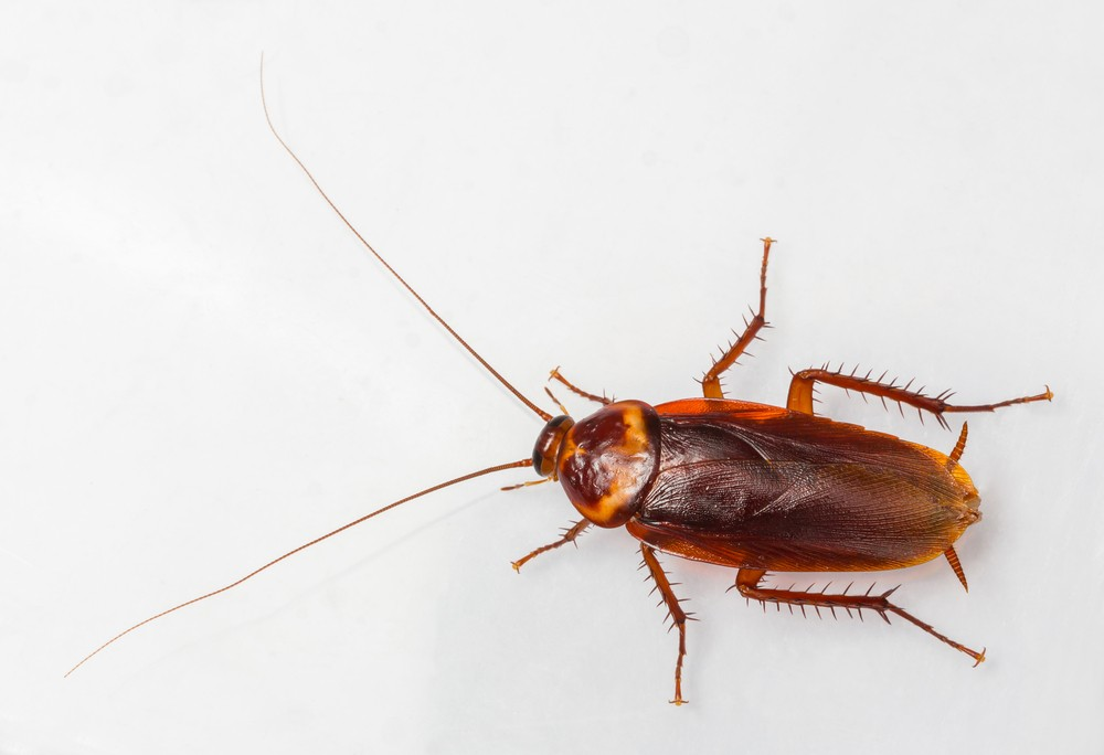 What Other Bugs Resemble Bed Bugs