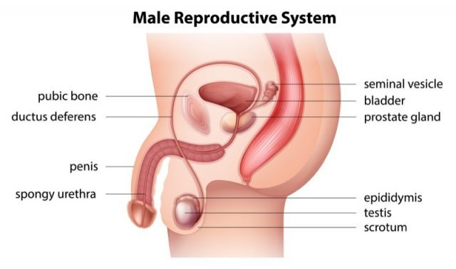 Illustration showing the male reproductive system