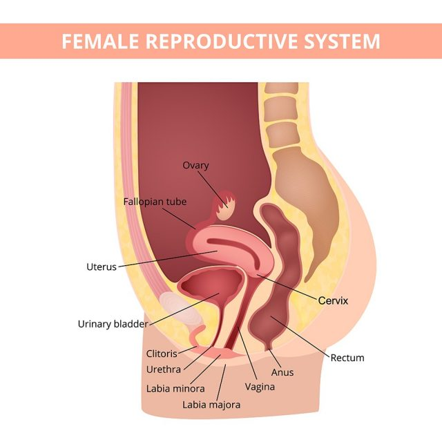 Female internal genital organs sectional, structure of the female reproductive system