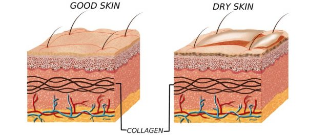 Dry skin on penis: Skin anatomy diagram