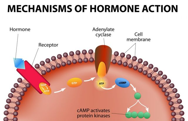 Mechanisms oа hormone action. Infographics
