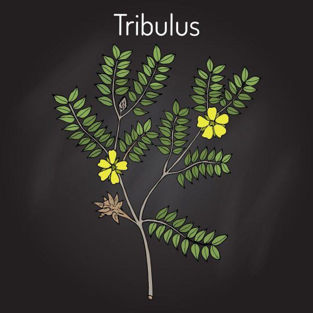 Bullhead (Tribulus terrestris), medicinal plant. Hand drawn botanical