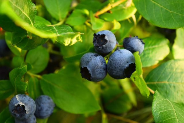 Juicy Highbush Blueberries