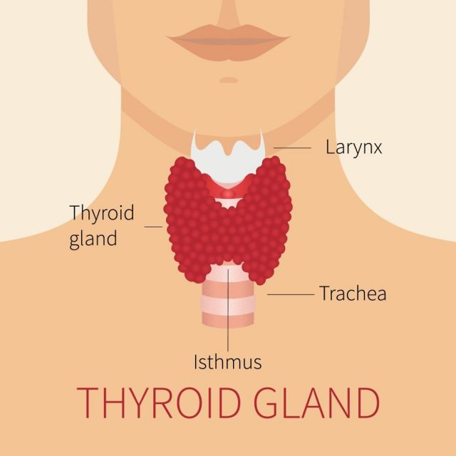 Thyroid gland and trachea scheme shown on a silhouette of a man