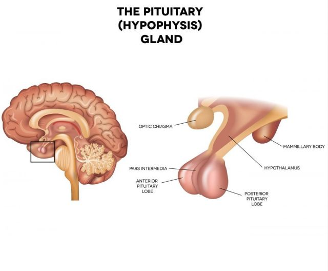 Pituitary gland, hypophysis, detailed anatomy of human brain