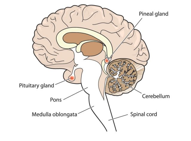 Cross section of brain showing the pituitary and pineal glands, cerebellum and brainstem