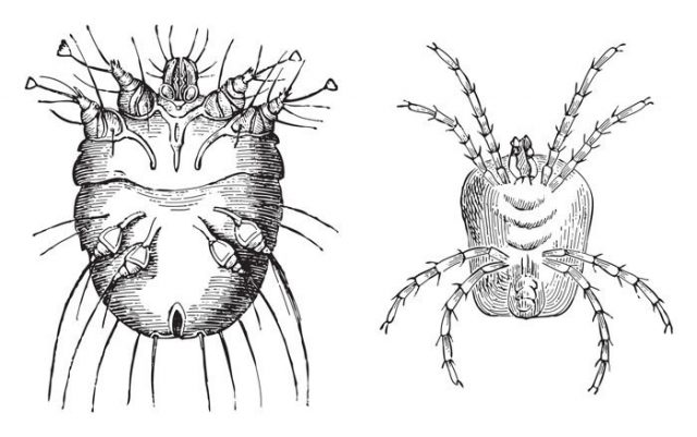 Itch mite (Sarcoptes scabiei) left and Velvet mite (Trombidium holosericeum) right / vintage illustration from Meyers Konversations-Lexikon 1897