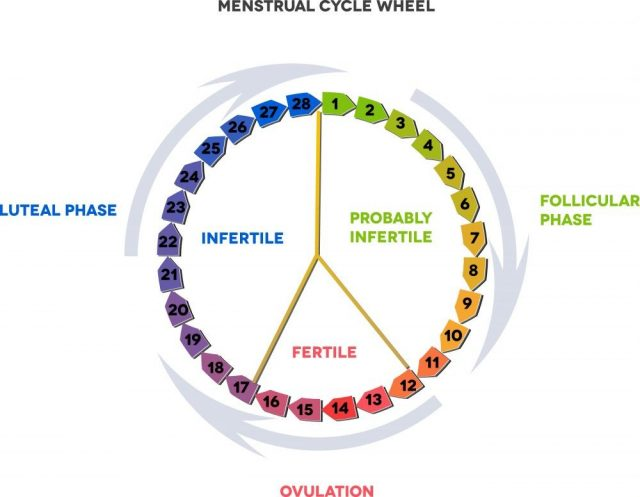 Menstrual cycle calendar. Average menstrual cycle. Follicular phase, Ovulation, luteal phase