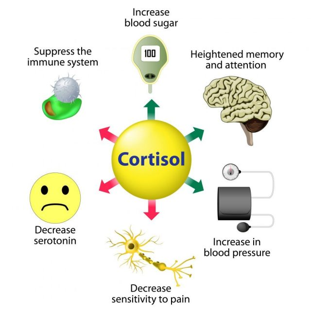 Cortisol is released in response to stress and low blood-glucose concentration. Infographics