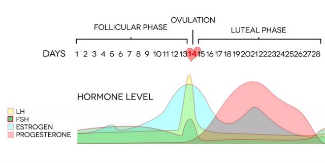 Menstrual cycle hormone level. Average menstrual cycle. Follicular phase, Ovulation, luteal phase