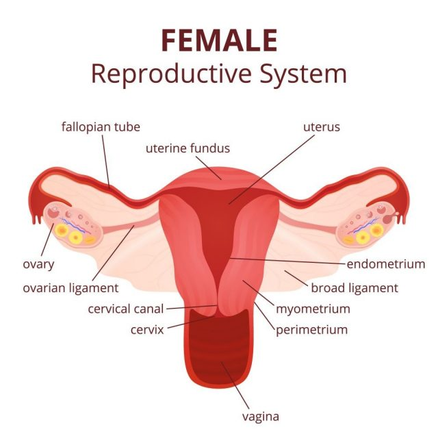 female reproductive system, the uterus and ovaries scheme