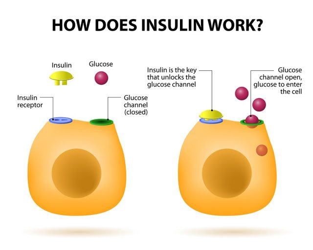 Insulin regulates the metabolism and is the key that unlocks the cell's glucose channel