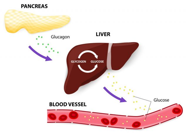 The pancreas releases glucagon when blood glucose levels fall too low. Glucagon causes the liver to convert stored glycogen into glucose, which is released into the bloodstream.