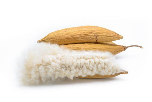 Kapok, Ceiba pentandra or White silk cotton tree( Ceiba pentandra (L.) Gaertn. Wong) Bombacaceae