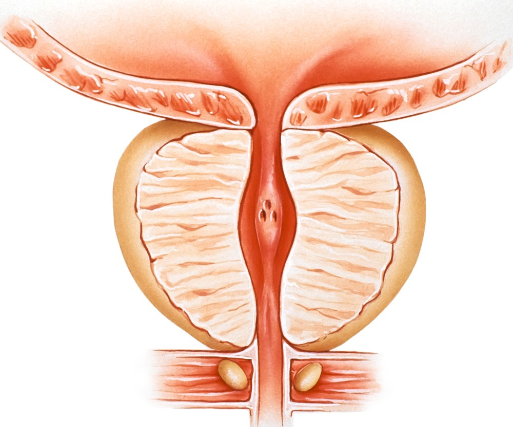 Prostate function | 10 paramount functions of prostate gland