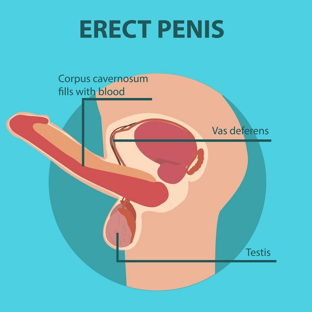 Erection of male sex organ penis