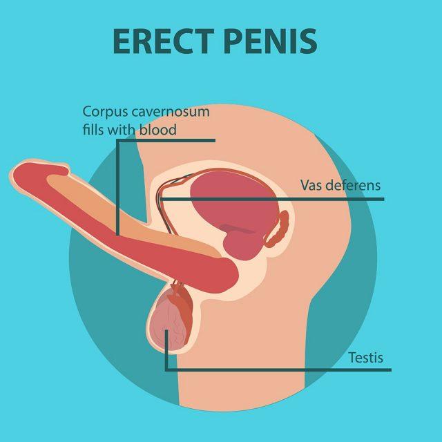 Erection of male sex organ penis
