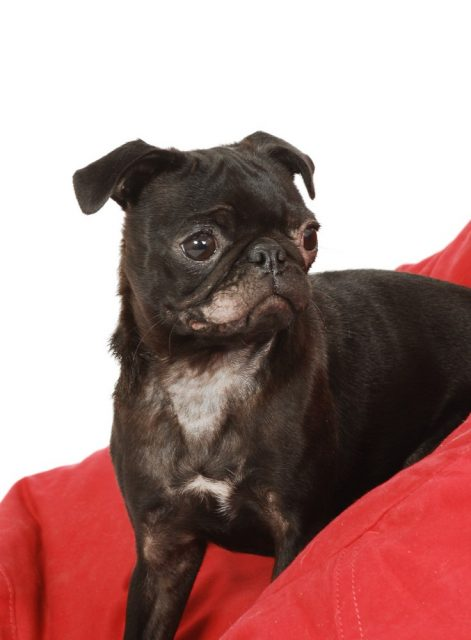 A close up of a black Pug dog with a ringworm infection on its face and chest