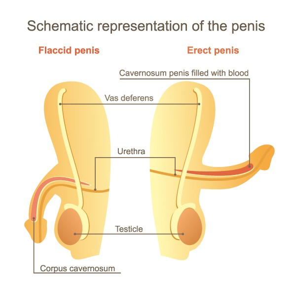 Schematic representation of the penis.Flaccid penis and erect penis.