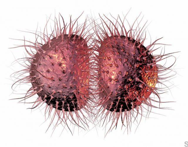 Bacteria Neisseria gonorrhoeae