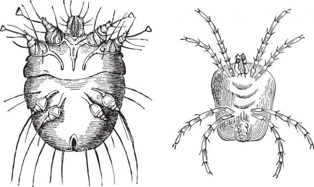 Itch mite (Sarcoptes scabiei) left and Velvet mite (Trombidium holosericeum) right / vintage illustration from Meyers Konversations-Lexikon 1897