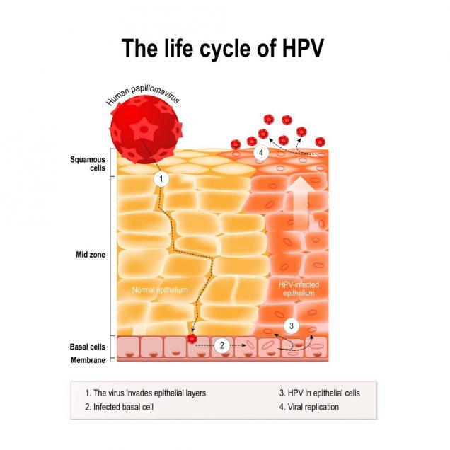 The life cycle of HPV